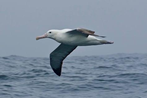 Southern Royal Albatross inshore in Tasmania