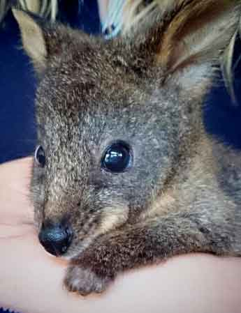 Pademelon with toxoplasmosis.