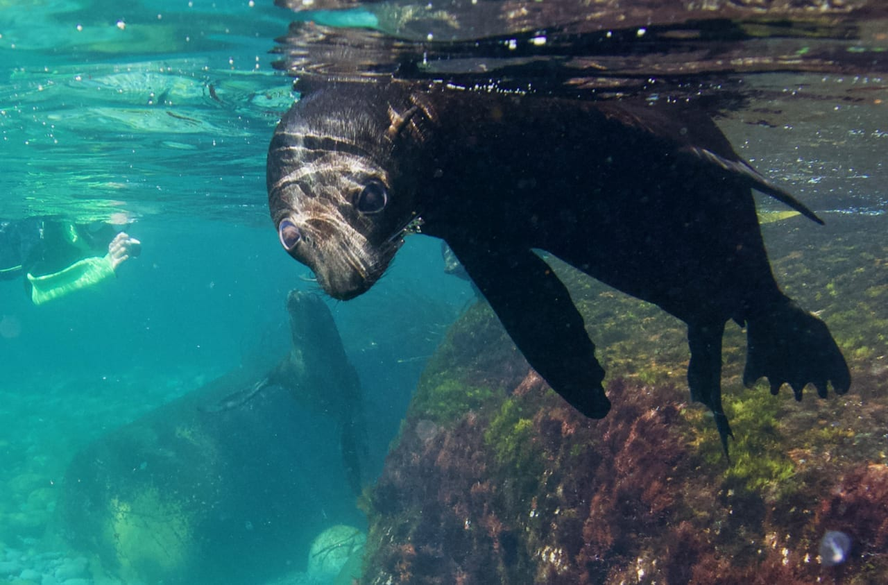Swimming with seals in Tasmania