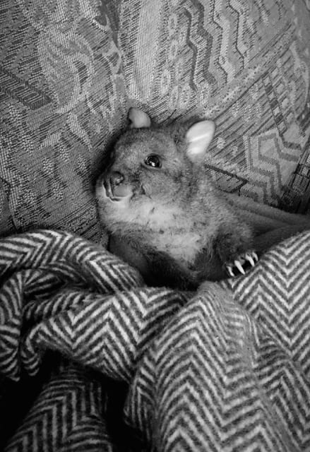 Wallaby joey in our care.