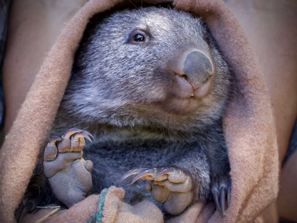 Rescued Wombat joey in pouch
