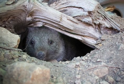 Womby looking happy about new burrow
