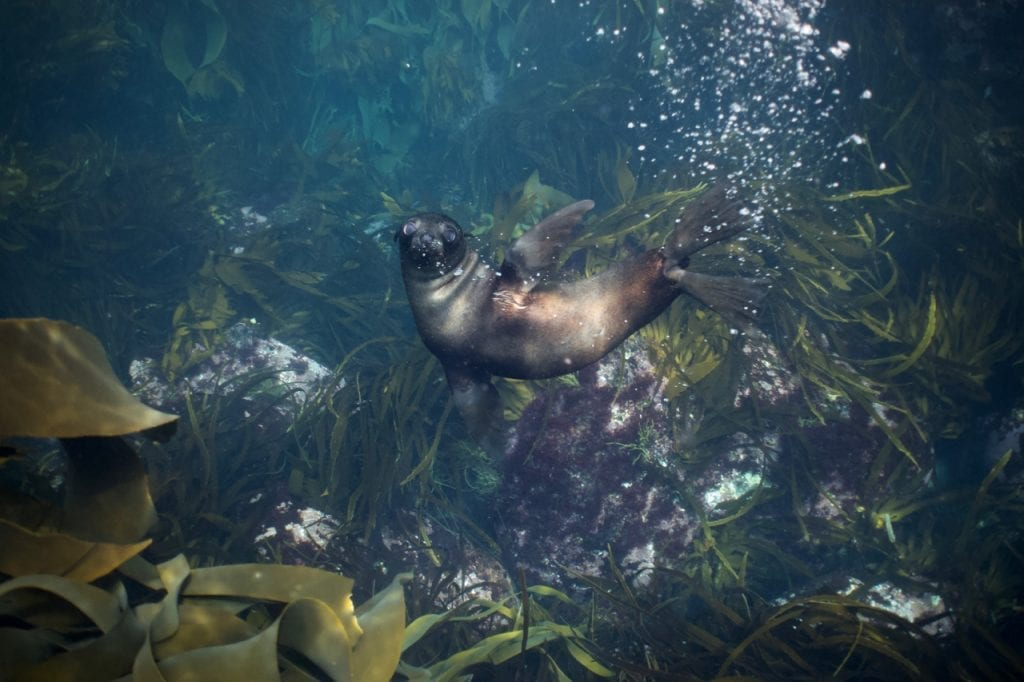 4-month old seal pup underwater.