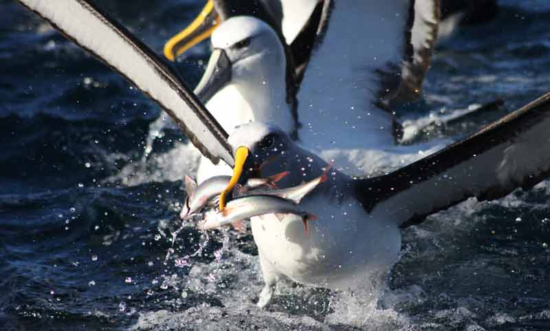 Buller's Albatross with 3 fish in his beak