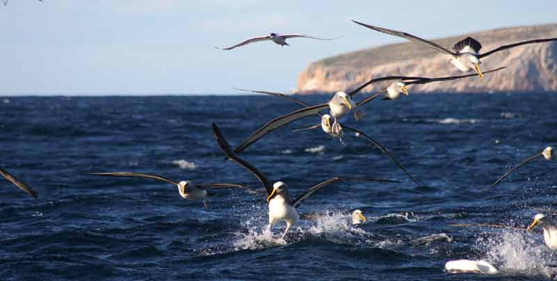 Albatrosses and a Tern about to land on the waters surface.