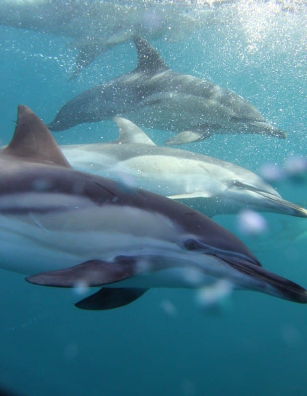 Common dolphins beside our boat.