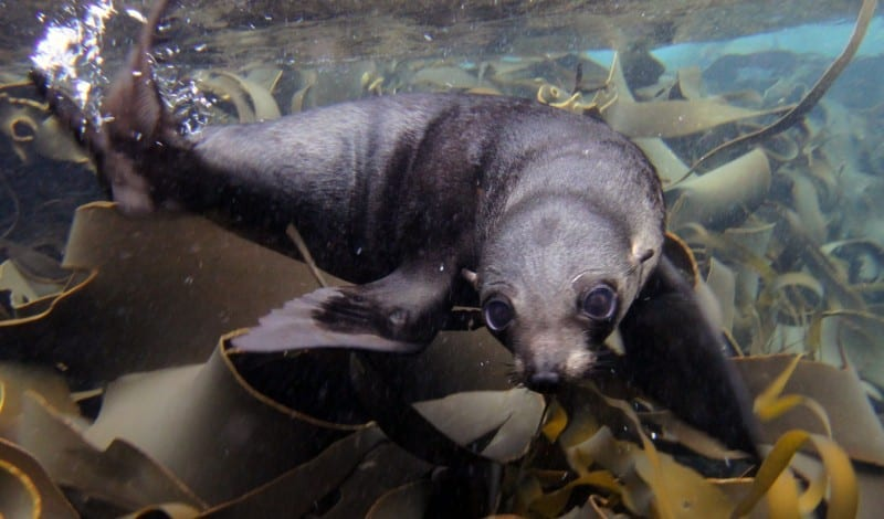 Seal pup playing in the kelp.