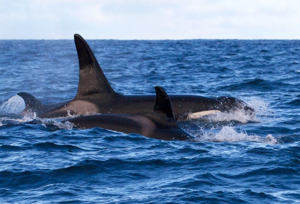 Three Killer Whales surfacing.